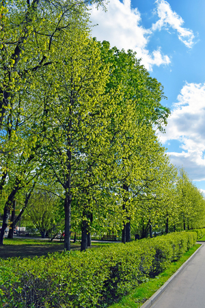 Trees, trimmed bushes and road. Fresh bright greens and blue sky with clouds. Park in the spring (or summer).