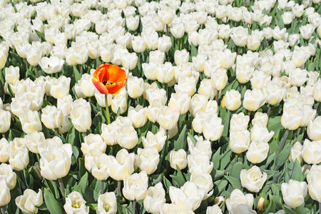 Group of white tulips and one red (orange) flower. Unique, standing out of the crowd and different concept.