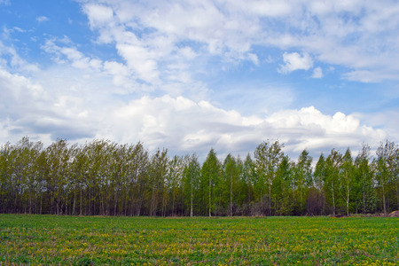 Green birch grove on a sunny summer day. Landscape with forest, field with yellow flowers and green grass, blue sky with white clouds. Natural background.