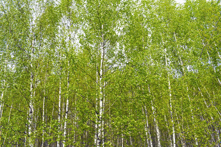 Green birch grove on a sunny summer day. Landscape background. Фото со стока