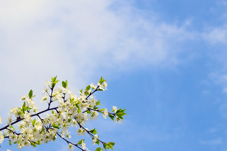 Cherry blossom branch on blue sky background. White flowers and green leaves. Spring landscape. Copy space.