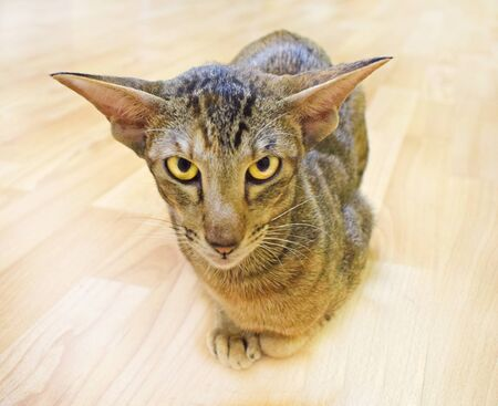 Oriental cat sits on the beige floor with its paws pressed up and carefully and sternly looks into the camera with yellow eyes. Shorthair, long, eared, thoroughbred animal. Horizontal photography. 免版税图像