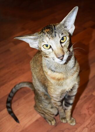 Oriental cat sits on the floor and carefully looks up at the camera with yellow eyes. Shorthair, long, eared, thoroughbred animal. Vertical photograph. Imagens