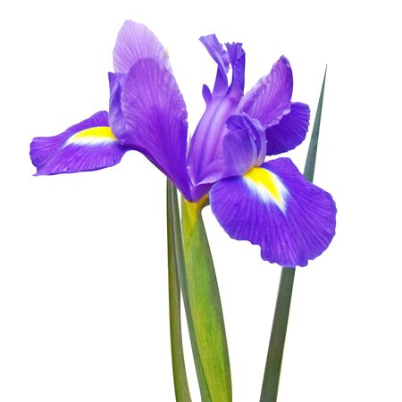 Purple iris flower with leaves isolated on a white background. Square photo. Banco de Imagens