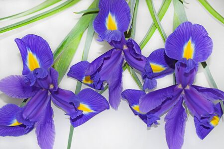 Bouquet of three purple irises lying on a light gray background. Violet-yellow petals and green leaves. Horizontal photography. Zdjęcie Seryjne