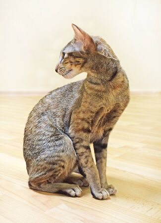 Beautiful elegant oriental cat sits sideways on the floor and looks back in profile. Shorthair, long, eared, unusual, graceful and thoroughbred animal. Vertical photograph. Imagens