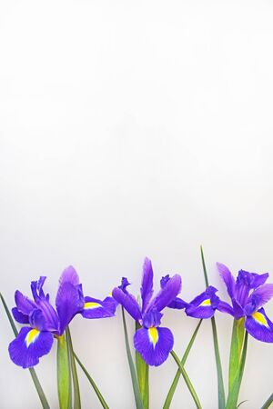 Vertical background with bright purple flowers (irises) on a light gray background. Blank for a greeting card for mother's day, wedding or birthday. Copy space (place for text). Vertical photo. 免版税图像