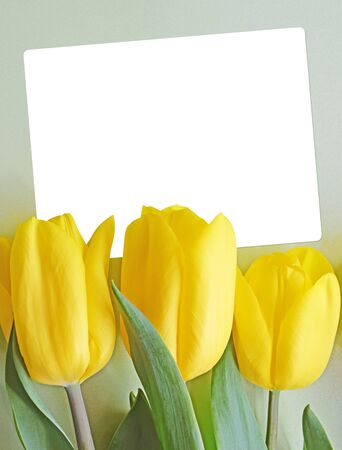 Holiday card with bright yellow fresh tulips on a light green background and an empty white blank for text and notes. Template with beautiful flowers for congratulations on mother's day or birthday. Imagens