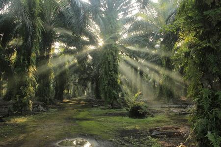palm oil: sunrise in Oil palm plantations