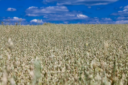 Oat field in central Russia Stock Photo - 15655469