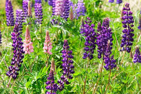 lavenders field photo