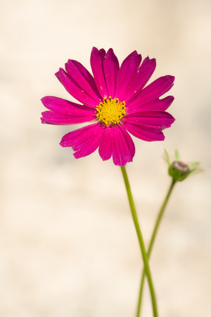 Purple red Garden cosmos photo