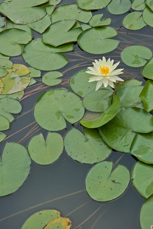 aquatic herb: A water lily