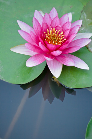 Red water lily and Reflection on the water photo