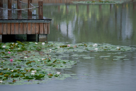 herbaceous: bridges and water lily