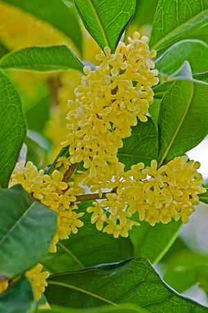 China golden osmanthus close-up photo