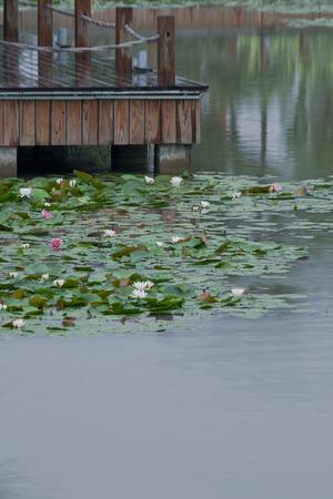 team lotus: white water lily