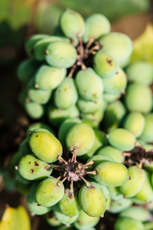 broadleaf: Broadleaf Mahonia fruit Stock Photo