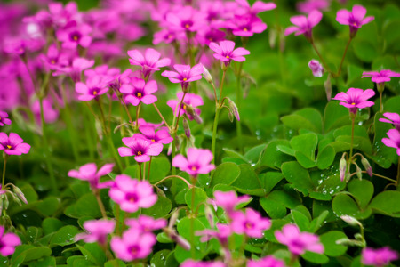 creeping woodsorrel: Oxalis flower closeup