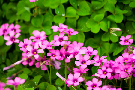 creeping woodsorrel: Red flower closeup Oxalis