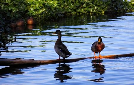 leisurely: Water ducks