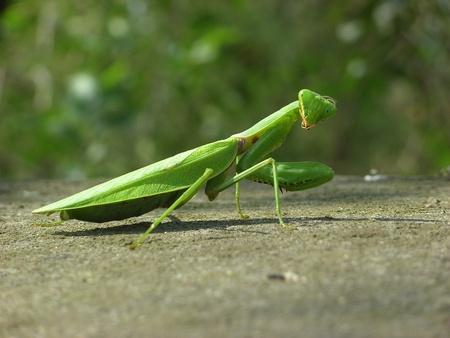 mantis: Mantis close-up Stock Photo