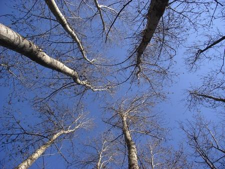 arbol alamo: Tronco de un árbol de álamo y el cielo partten Foto de archivo