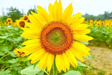 Blooming sunflower close up Kho ảnh