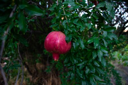 Red pomegranate fruit on a tree