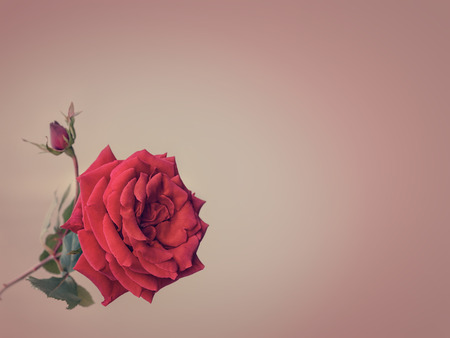 red rose bokeh: red rose on a striped background in pastel colors