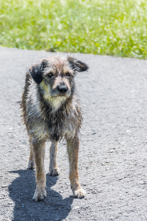 pooch: Old shaggy pooch standing on the road