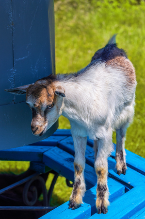 climbed: goatling climbed on the bench and wanted to hide in the shadows