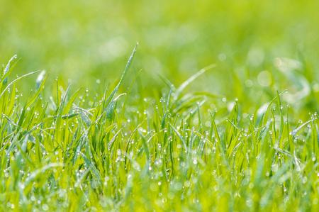 glistening: wet grass on a blurred background meadow, dew glistening with sunlight, bokeh