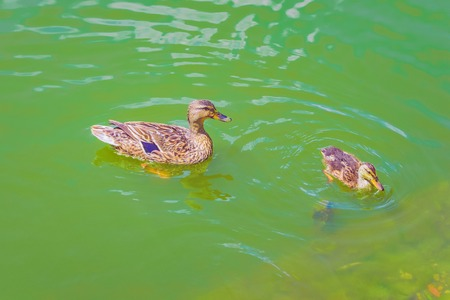 wild duck with duckling floating near the shore of the lake