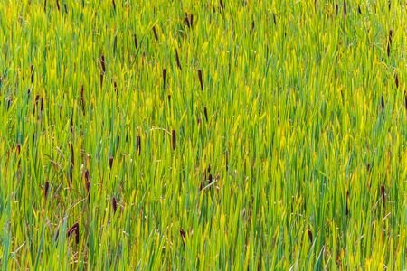 background texture, overgrown lake with green reeds Stock Photo
