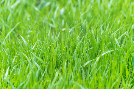 wet grass on a blurred background lush meadow, dew glistening with sunlight, bokeh Stock Photo