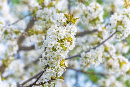 blossoming tree branch on a blurry background of a fruit garden with a bokeh effect Stock Photo