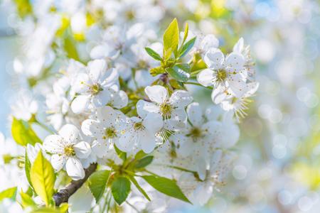 Blühender Baum Zweig auf einem verschwommenen Hintergrund eines Obstgartens mit einem Bokeh-Effekt Standard-Bild - 82934550
