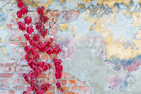 background texture old brick wall with remnants of varicoloured plasters and with wild grapes