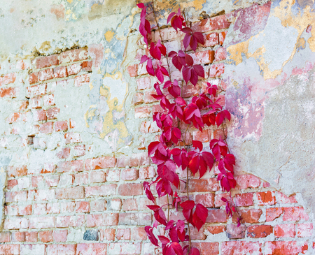 background texture old brick wall in perspective, with remnants of varicoloured plasters and with wild grapes Stok Fotoğraf