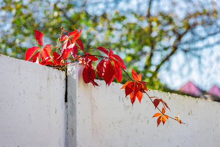 red leaves of wild grapes on a white fence, on a blurred background of trees and sky with a bokeh effect