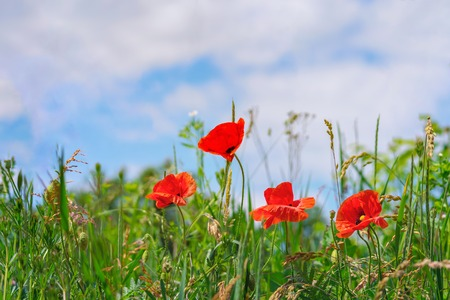 Floral background. Red poppies in green grass on a blurry background sky and of lush meadow