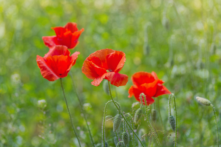 Floral background. Red poppies in green grass on a blurry background of lush meadow with bokeh effect