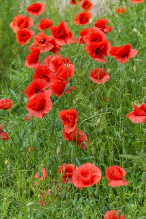 Floral background. Red poppies in green grass on a blurry background of lush meadow Stock Photo