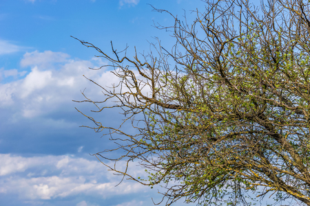 dry branches of an old, diseased tree against a blue sky with clouds