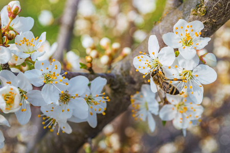 Bee collecting honey on a flowering tree in spring Stok Fotoğraf