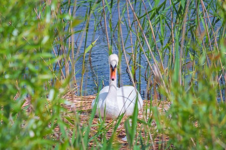 White swan in the nest, in the reeds near the shore of the lake