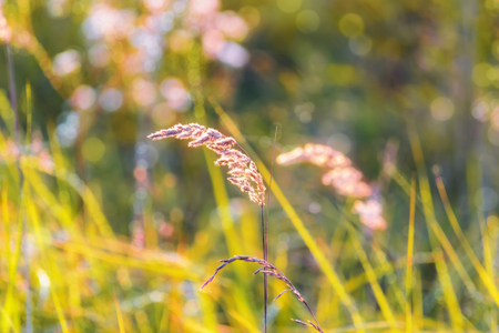 the grass glows in the setting sun, on blurred background with lush meadows, with the bokeh effect