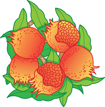 oriental fruits, pomegranate Vector