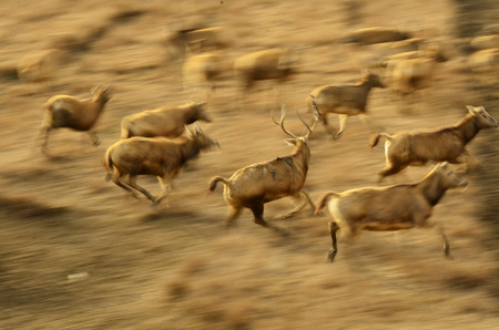 areas: China Dafeng Milu deer running in protected areas Stock Photo